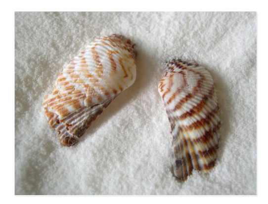 Turkey wing seashells blank postcard