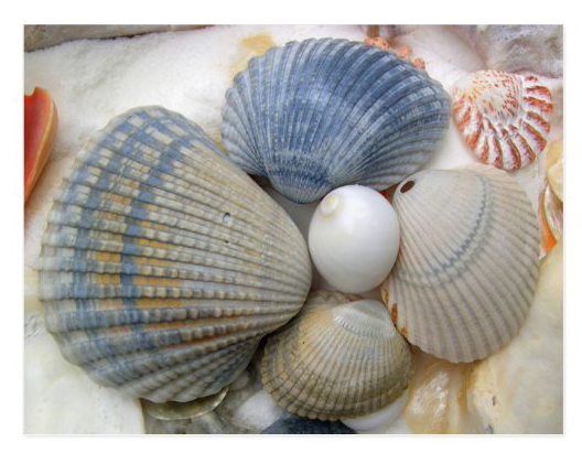 Blue seashells photography postcard