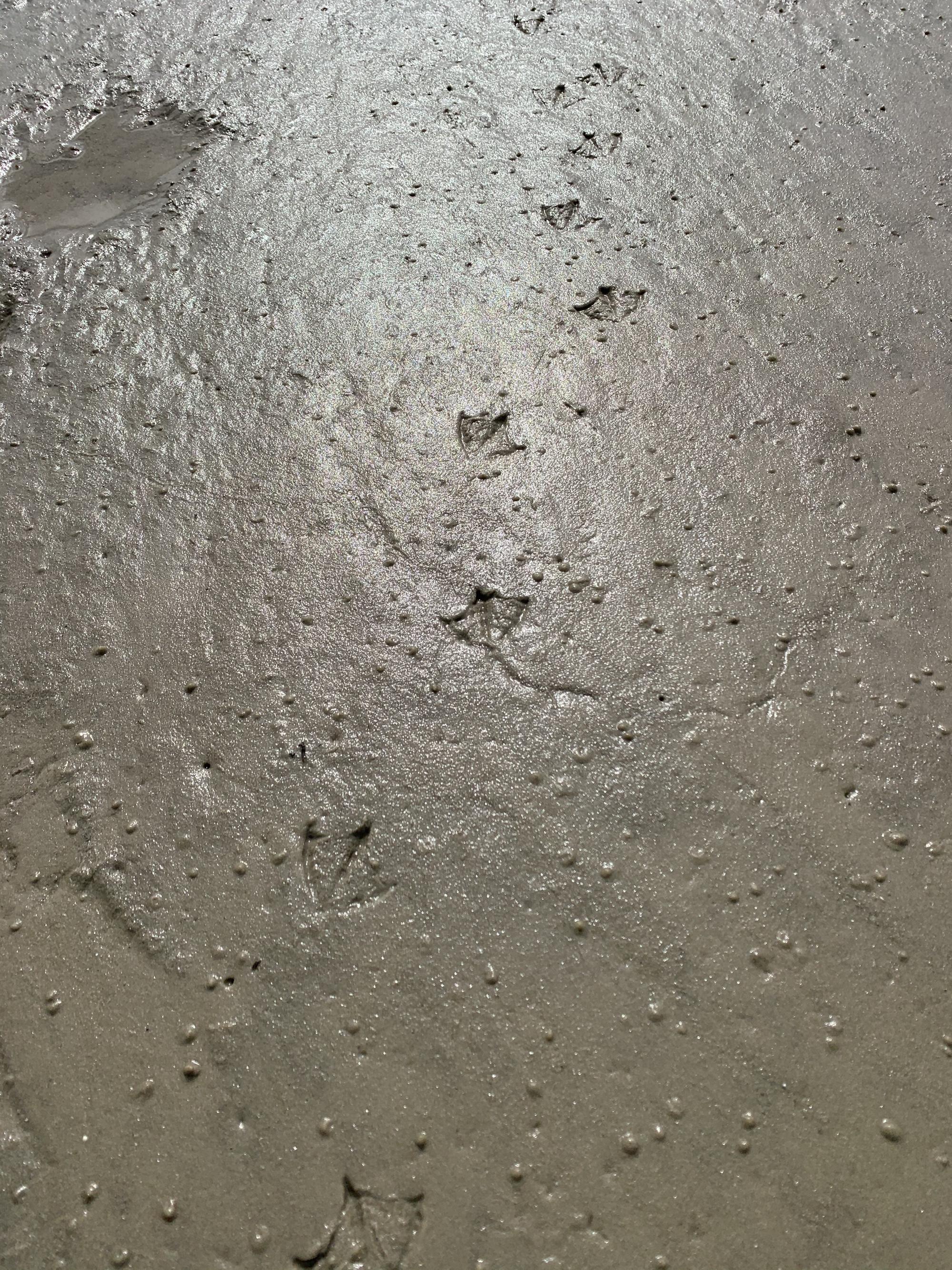 Bird tracks in the mud