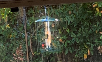 painted buntings eating millet from a cage feeder