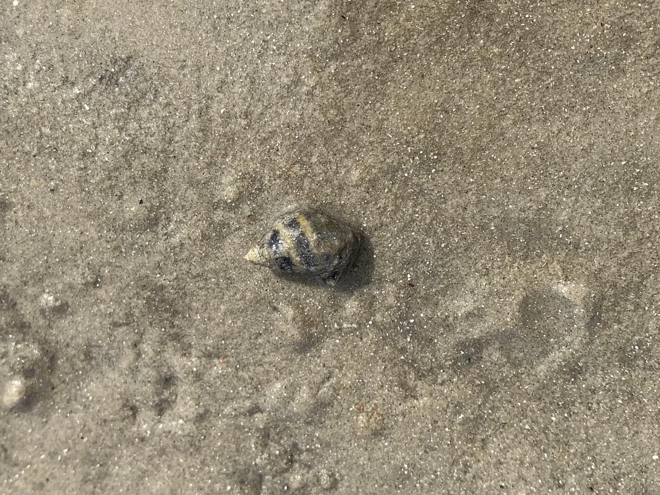 Tiny sea snail with striped shell