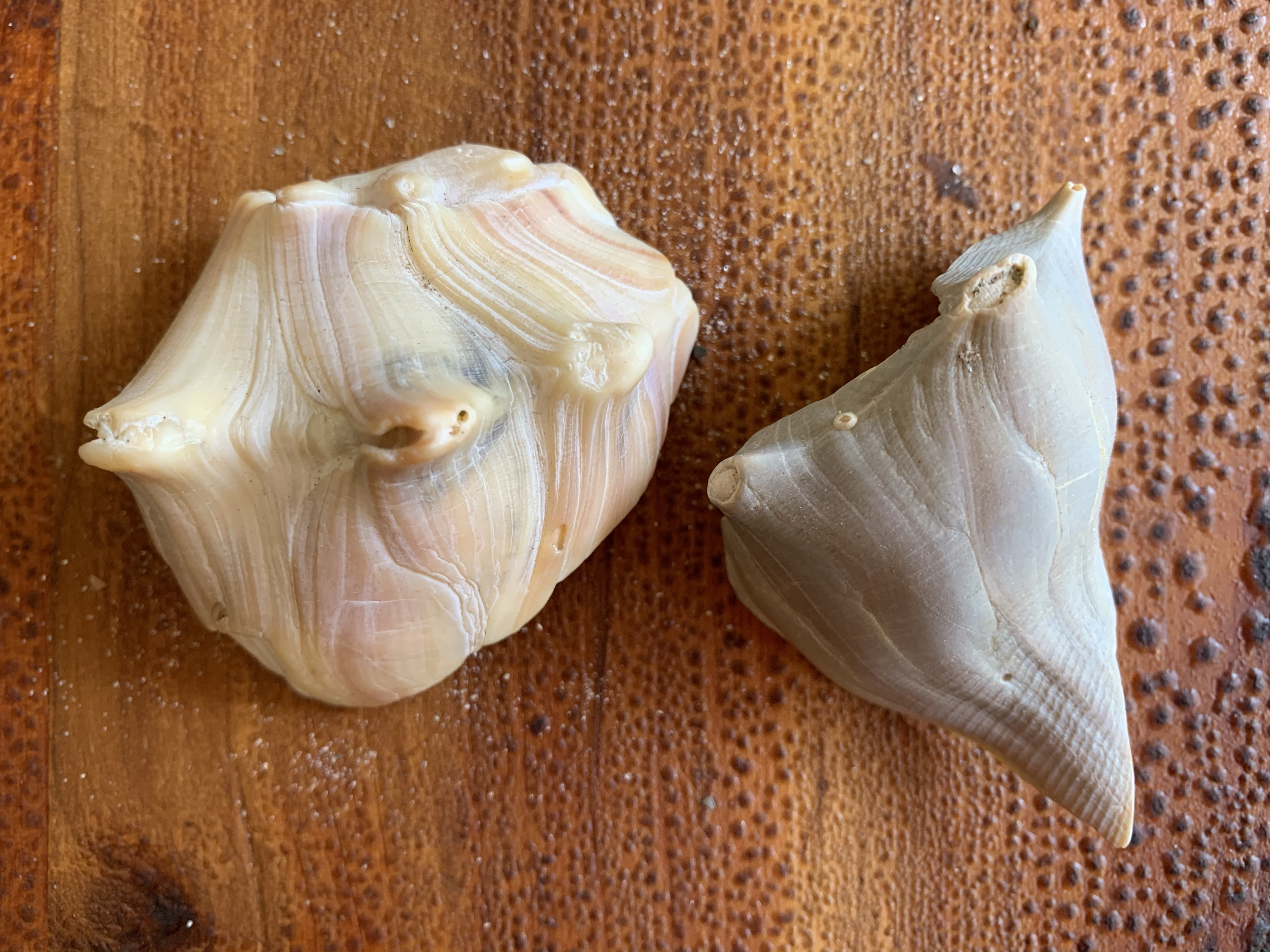 Partial seashell pieces of the knobbed whelk
